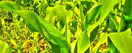 kukuruza-555