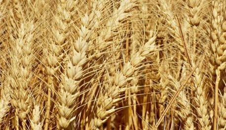 Сорт пшеницы Калидон