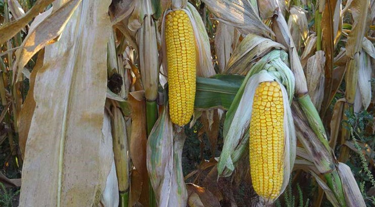 Гибрид кукурузы Рокс